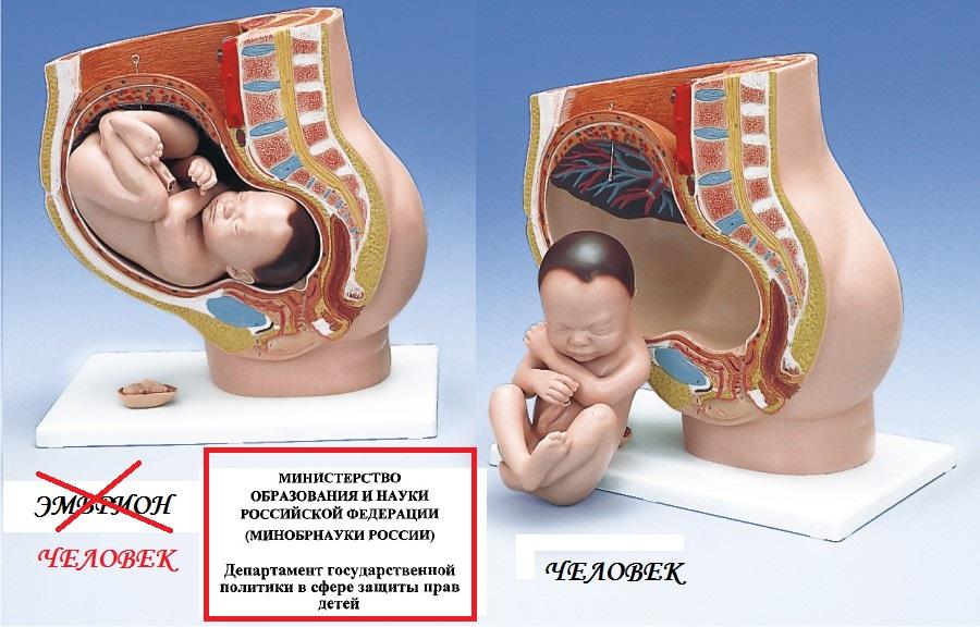 Эмбрион-человек.jpg